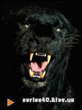 Black Panther | 240*320