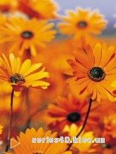 Flowers l 240*320