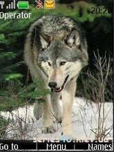 Wolf by _DK_SAN_ | 240*320